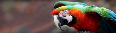 amazing-colorful-camelot-macaw-parrot-header