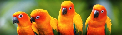 beautiful-conures-love-birds-website-header
