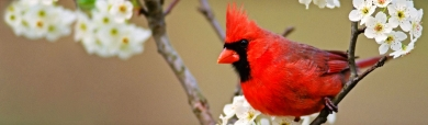 beautiful-crowned-red-bird-website-header