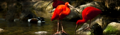 beautiful-red-swan-lake-website-header