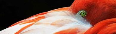 flamingo-bird-hide-head-in-his-feathers-header