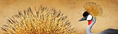 golden-crested-grey-crane-bird-website-header