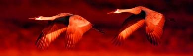 red-sky-flying-sandhill-crane-birds-header