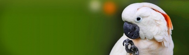 umbrella-cockatoo-on-green-background-web-header