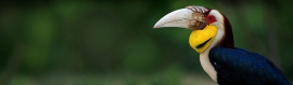 amazing-beautiful-hornbill-bird-header