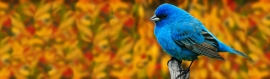 indigo-bunting-bird-website-header