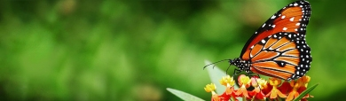 magnificent-tiger-striped-butterfly-website-header