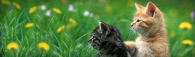 red-silver-turkish-angora-cat-header