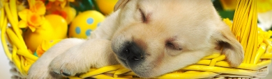 sleepy-labrador-puppy-in-easter-basket-website-header