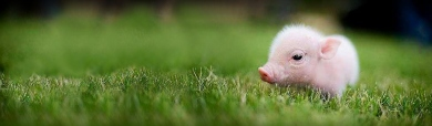 cute-tea-cup-micro-pig-website-header