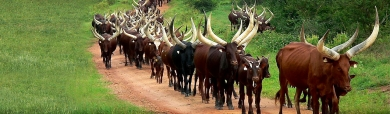 herd-of-ankole-cattle-website-header