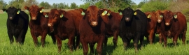 red-black-angus-cattle-web-header