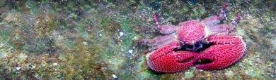 red-crabs-header