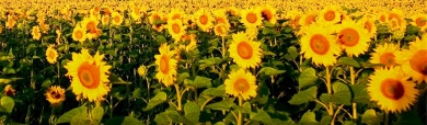 beautiful-sunflower-landscape-website-header