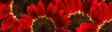 red-sunflowers-website-header