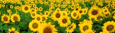 sunflower-landscape-website-header
