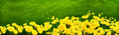 yellow-flowers-and-grass-header