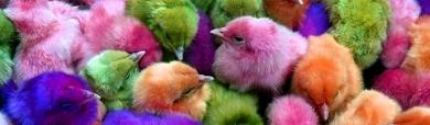 funny-colorful-chicks-website-header