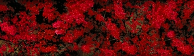 wonderful-red-flowers-girly-background-header