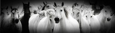 black-white-horses-header