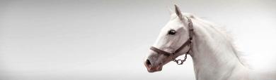 white-arab-horse-header