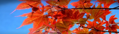red-autumn-tree-website-header