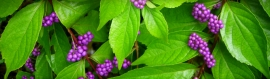 purple-beautyberries-fruit-tree-plant-web-header