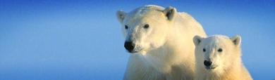 pair-of-polar-bears-header