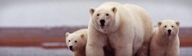 polar-bears-header